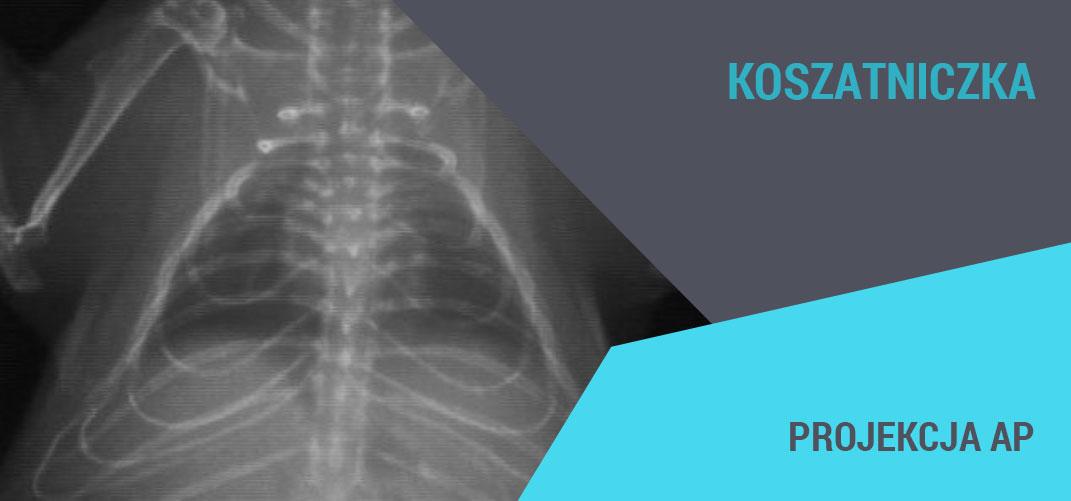 rentgenodiagnostyka gryzoni koszatniczka