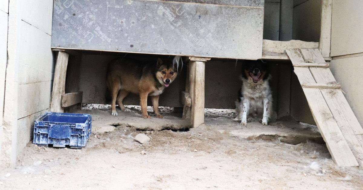 psy w radysach